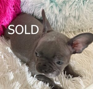 Blue Frenchie Female #3 Going to Florida