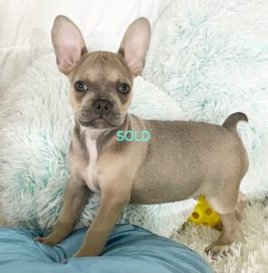 Frenchie Male #4